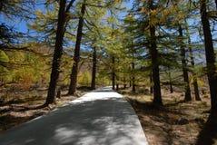 Florestas coníferas Imagem de Stock