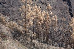 Florestas do patrimônio mundial de Madeira destruídas terrivelmente por fogos em 2016 Algumas das árvores têm a vontade enorme da Fotografia de Stock Royalty Free