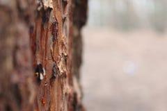 Florestas do pinho Fotos de Stock