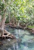 Florestas dos manguezais Fotos de Stock Royalty Free