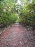 Florestas dos manguezais em Tailândia Imagem de Stock