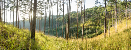 Florestas dos pinhos do panorama e vidro amarelo fotos de stock