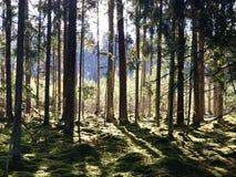 Florestas letãs Luz e ar imagens de stock