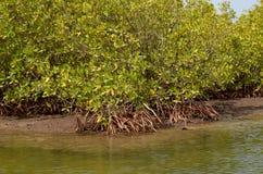 Florestas na área do delta do rio de Saloum, Senegal dos manguezais, África ocidental imagem de stock royalty free