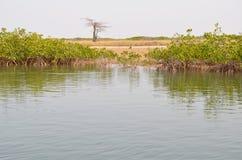 Florestas na área do delta do rio de Saloum, Senegal dos manguezais, África ocidental foto de stock royalty free