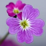 Floret макроса Стоковая Фотография RF