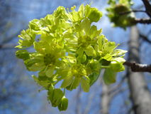 Backlit tree sprout. Floret shaped fresh green tree sprout Royalty Free Stock Image