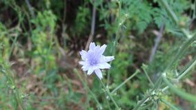 Floreta blue. Video was taken in a small Bulgarian farm stock footage