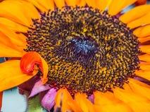 Florets солнцецвета Marco стоковая фотография