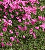 Florets cor-de-rosa em uma grama verde Esclarecimento do verão Imagem de Stock