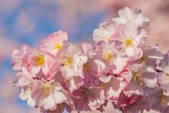 Florets da mola em um jardim no dia ensolarado ?rvore de cereja de floresc?ncia das flores fotos de stock