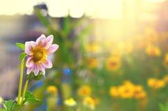 Florezca con los rayos del sol verdes y el fondo amarillo de campo de flor Imágenes de archivo libres de regalías