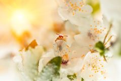 Florezca el árbol de ciruelo y la primavera de la abeja, nieve pasada cubierta Fotografía de archivo