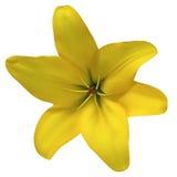 Florezca el amarillo del lirio en un fondo blanco aislado con la trayectoria de recortes Para el diseño primer imagenes de archivo