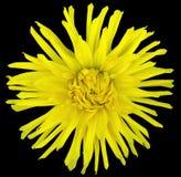 Florezca el amarillo en un fondo negro aislado con la trayectoria de recortes primer flor lanuda grande aster Fotos de archivo libres de regalías