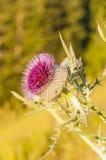 Florezca el eriophorum del Cirsium (cardo lanoso) por la mañana Foto de archivo