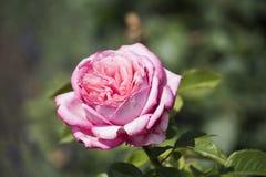 Florezca el fondo con la flor color de rosa, opinión del primer DOF bajo P Foto de archivo