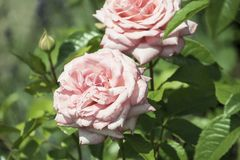 Florezca el fondo con la flor color de rosa, opinión del primer DOF bajo P Fotografía de archivo libre de regalías