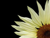 Florezca el impacto en negro Fotos de archivo libres de regalías