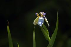 Florezca el iris del apóstol en contraste con el fondo oscuro del bosque imagen de archivo