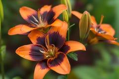 Florezca el primer anaranjado del lirio, en un fondo verde, en el jardín Imagen de archivo libre de regalías