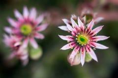 Florezca el primer floreciente del crecimiento de SempervÃvum del verano apacible suculento joven macro de la purificación fotografía de archivo libre de regalías