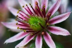 Florezca el primer floreciente suculento del crecimiento de la purificación joven macra de SempervÃvum fotografía de archivo libre de regalías