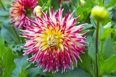 Florezca el primer rojo de la flor de la dalia en el jardín Imagen de archivo