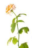 Florezca el té se levantó Imagen de archivo libre de regalías