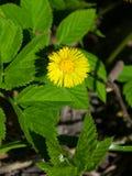 Florezca en la primavera temprana, el coltsfoot floreciente o el farfara del tussilago, foco selectivo macro, DOF bajo Imagen de archivo