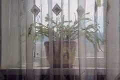 Florezca en un travesaño de la ventana detrás de la cortina Foto de archivo