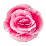 Florezca la begonia rosada roja aislada en el fondo blanco Primer Macro Elemento del diseño Foto de archivo libre de regalías