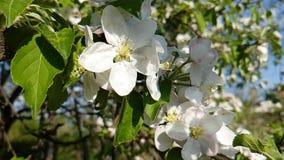 Florezca la cereza floreciente natural en una cámara lenta de la rama almacen de video