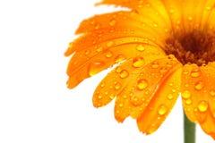 florezca la macro con las gotitas de agua Imagenes de archivo