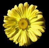 Florezca la manzanilla amarilla en fondo aislado negro con la trayectoria de recortes Margarita naranja-amarilla con las gotitas  fotografía de archivo