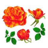 Florezca la naranja color de rosa y florece el vintage en un primer ejemplo fijado el fondo blanco del vector editable Fotografía de archivo