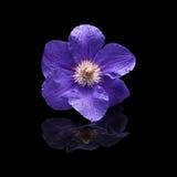 Florezca la púrpura de la clemátide de las plantas en el fondo negro aislado Fotos de archivo libres de regalías