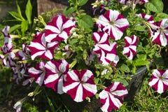 Florezca la petunia en el fondo de la hierba verde Fotos de archivo libres de regalías