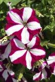 Florezca la petunia en el fondo de la hierba verde Foto de archivo libre de regalías