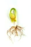 Florezca la planta y la raíz Foto de archivo