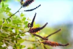 Florezca los arbustos, flora, fruticosa L de Amorpha - latín, con la abeja Fotos de archivo libres de regalías