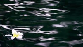 Florezca los flotadores franzhipan del Plumeria blanco en agua de la piscina en el centro turístico tropical metrajes