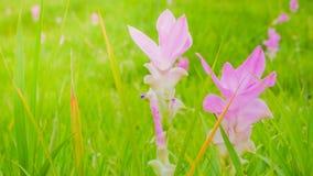 Florezca los tulipanes salvajes de Tailandia que florecen en el bosque en el phoom T de Chaiya fotos de archivo libres de regalías