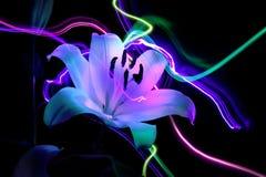 Florezca un lirio: aroma de la noche imagen de archivo libre de regalías