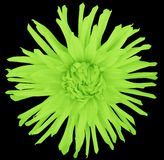 Florezca verde claro en un fondo negro aislado con la trayectoria de recortes primer flor lanuda grande aster Foto de archivo libre de regalías