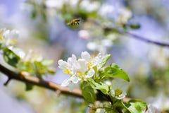 Florezca y una abeja con una profundidad del campo baja Fotografía de archivo