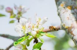 Florezca y una abeja con una profundidad del campo baja Imagen de archivo libre de regalías