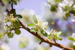 Florezca y una abeja con una profundidad del campo baja Foto de archivo libre de regalías