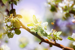 Florezca y una abeja con una profundidad del campo baja Fotografía de archivo libre de regalías