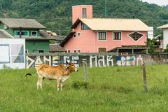 Bown cow grazing near some houses. Florianópolis, Brazil - january, 2018. Brown cow grazing near some houses in an urban region stock images